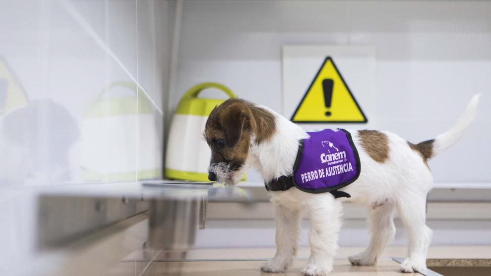 Uno de los cachorros olisquea una de las bandejas con isopreno en el laboratorio.