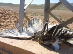 Águila culebrera electrocutada en un tendido eléctrico de la provincia de Zaragoza. Las aves más afectadas por este problema son las grandes rapaces como el buitre leonado, el águila real, el milano real o el águila perdicera.