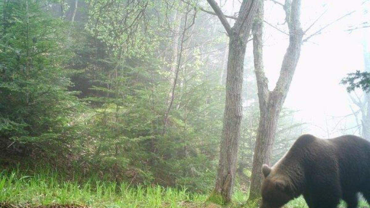 Francia difunde las imágenes captadas por las cámaras de seguimiento de los osos